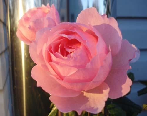 A December Rose in Dundas, Ontario by Michael Grey