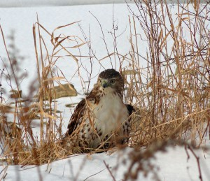 Close up of the hawk